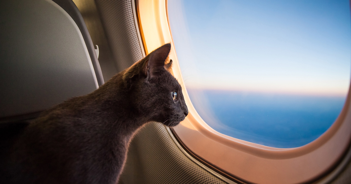 Chat au hublot d'un avion.